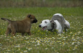 Greyhound and puppy sheepdog — Photo