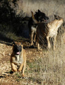 Running puppy malinois — Stock Photo