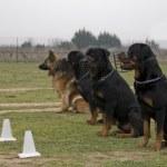 quatro cães assistindo — Foto Stock