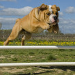 Jumping bulldog - Stock Photo