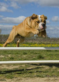 Jumping bulldog — Stock Photo