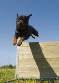 Jumping rottweiler — Stock Photo