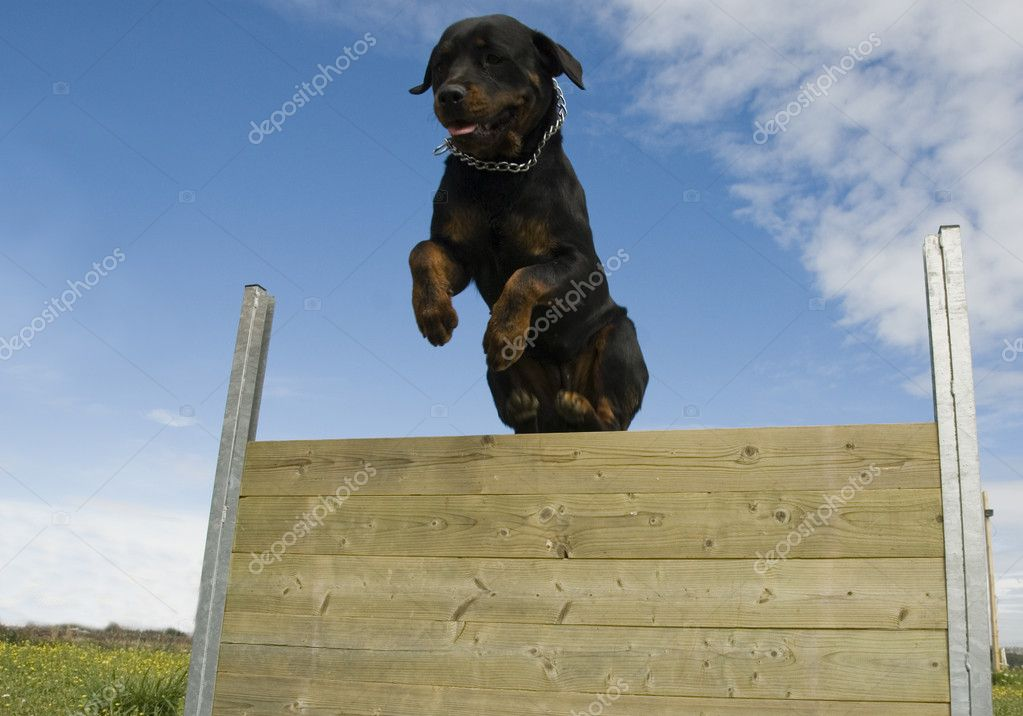 Jumping rottweiler | Stock Photo © cynoclub #1942462