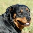 Rottweiler — Stock Photo #1978280