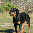Rottweiler — Stock Photo #1978425
