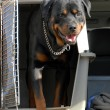 Rottweiler in a box — Stock Photo