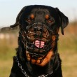 Stock Photo: Rottweiler and muzzle