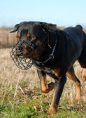 Rottweiler and muzzle — Stock Photo