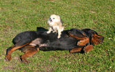 Rottweiler and chihuahua — Stock Photo