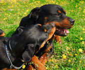 Rottweilers — Stockfoto