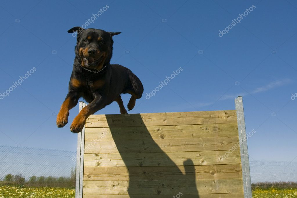 Jumping rottweiler | Stock Photo © cynoclub #1978028