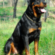 Rottweiler — Stock Photo #1980742