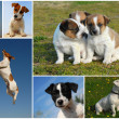 Jack Russel terrier — Stock Photo #1989988
