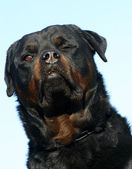 Wink of rottweiler — Stock Photo
