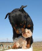 Rottweiler et yorkshire terrier — Stock Photo