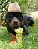 Rottweiler with hat and fruit — Stock Photo