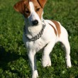Puppy jack russel terrier - Stock Photo