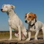 Постер, плакат: Two jack russel terrier