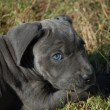 Very young puppy cane corso - Stock Photo