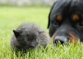 Kitten and rottweiler — Stock Photo