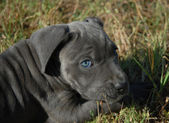 Very young puppy cane corso — Stock Photo