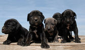 Puppies cane corso — Stock Photo
