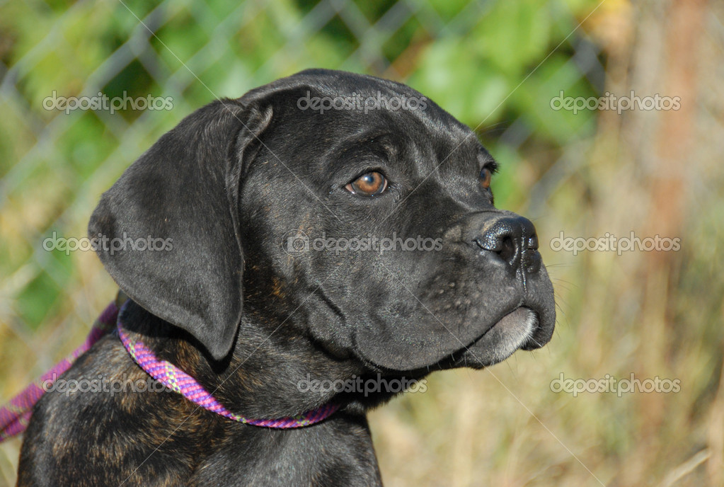 Young puppy purebred cane corso: italian mastiff — Stock Photo #2065564