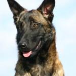 Beautiful young purebred belgian shepherd malinois: cute watching dog — Stock Photo #2078866