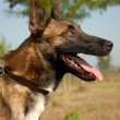 Malinois — Stock Photo #2079639