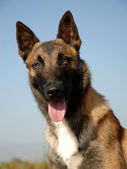 Portrait of a belgian shepherd — Stock Photo
