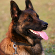 Malinois — Stock Photo #2080823