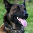 Malinois — Stock Photo #2080957