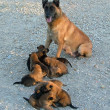 Malinois and puppies — Stock Photo