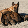 Royalty-Free Stock Photo: Belgian shepherd and puppies