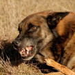 Dangerous belgian shepherd — Stock Photo