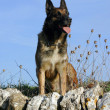 Malinois - Stok fotoraf