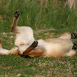 Stock Photo: Playing malinois