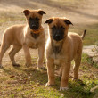 Two puppies malinois — Stock Photo