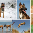 belgian shepherd malinois — Stock Photo