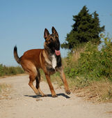 Young malinois — Stock Photo
