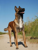 Watching malinois — Stock Photo