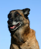 Old malinois — Stock Photo