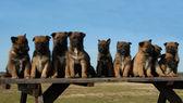 Puppies malinois — Stock Photo