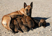 Belgian shepherd and puppies — Stock Photo