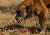 Aggressive belgian shepherd — Stock Photo