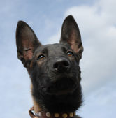 Puppy malinois — Stock Photo