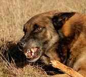 Dangerous belgian shepherd — Stock Photo