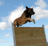 Jumping malinois — Stock Photo