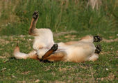 Playing malinois — Stock Photo