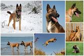 Belgian shepherd malinois — Stock Photo